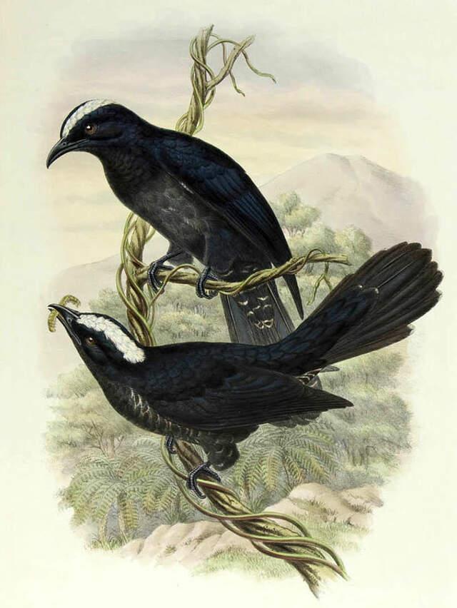 White-crowned Cuckoo - Cacomantis leucolophus - wiha114587