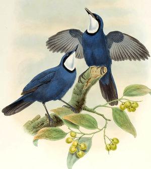 Ptilorrhoa bleu