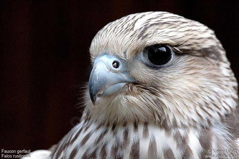 Falconiformes. sub Falconidae - sub fam Falconinae - gênero Falco - Página 3 Faucon.gerfaut.lixa.1g