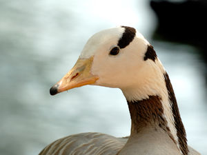 Oie à tête barrée