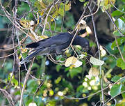 Perroquet noir