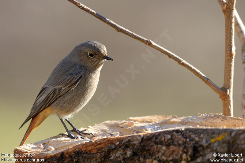 Rougequeue noir femelle adulte ref lixa75154 for Oiseau queue rouge