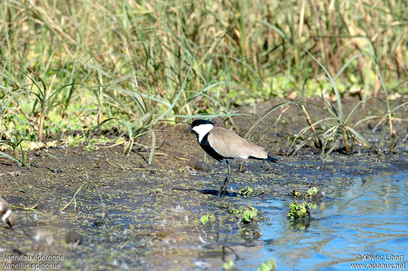 Spur-winged Lapwing , identification