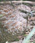 Caille tasmane