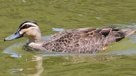 Canard à sourcils