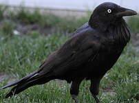 Corbeau d'Australie