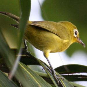 Zostérops à front jaune