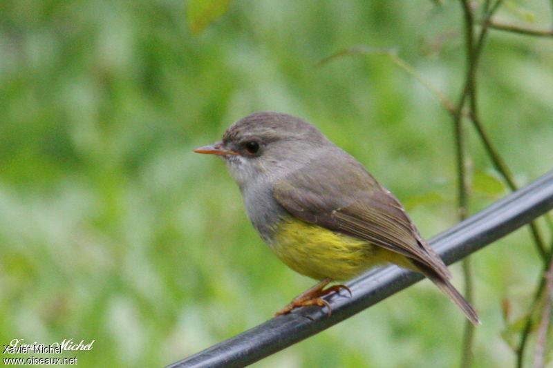 Miro ventre jaune ref xami70384 for Oiseau ventre jaune