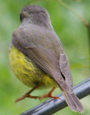 Miro ventre jaune microeca flaviventris for Oiseau ventre jaune