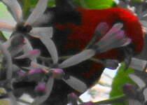 Myzomèle calédonien
