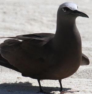 Noddi brun