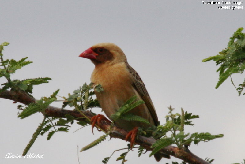Travailleur bec rouge m le ref xami55338 for Oiseau bec rouge