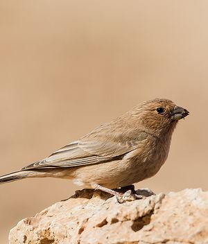 Roselin du Sinaï