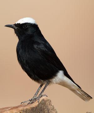 Traquet t te blanche oenanthe leucopyga for Oiseau tete noire et blanche