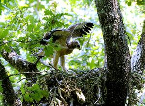Aigle botté © Yann Cambon