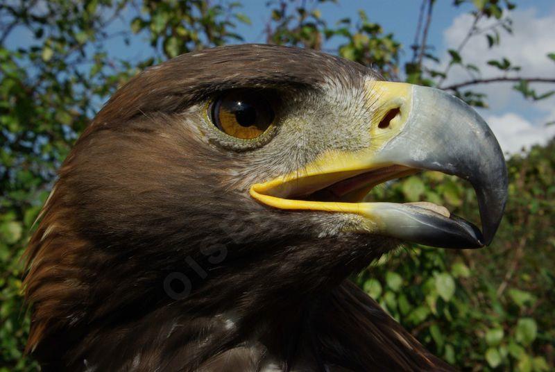 Aigle royal yaca71880 - Comment dessiner un aigle royal ...