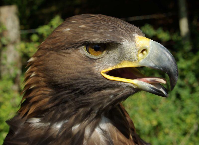 Aigle royal yaca71881 - Comment dessiner un aigle royal ...