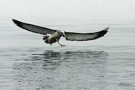 Albatros de Salvin