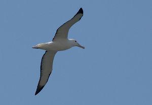 Albatros royal du Nord