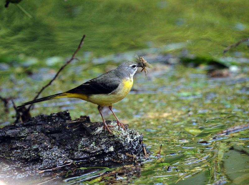 Bergeronnette des ruisseaux femelle adulte nuptial ref