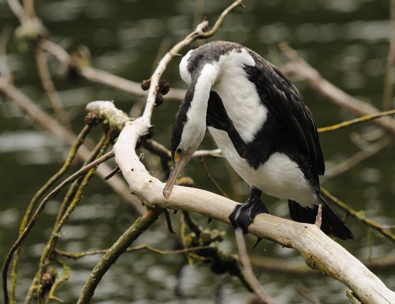 australian pied cormorant - phalacrocorax varius