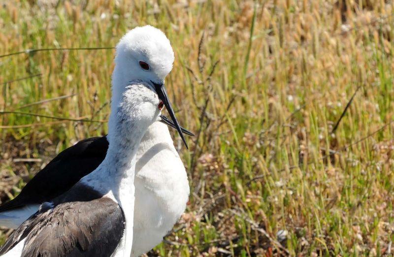 Chasse blanche par yann cambon yaca121665 - Chasse oiseaux electronique ...