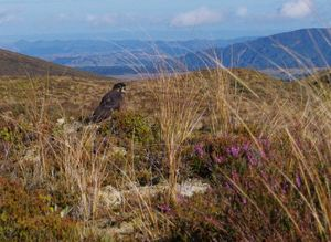 Faucon de Nouvelle-Zélande