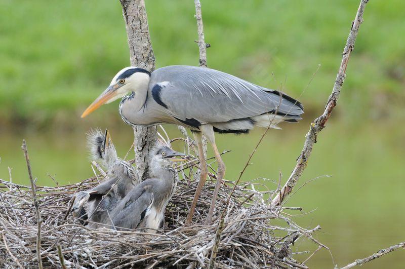 un oiseau - blucat - 19 août trouvé par ajonc - Page 2 Heron.cendre.yaca.9g