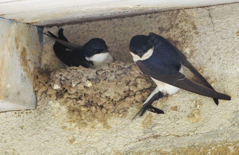 Hirondelle de fen tre adulte nuptial ref yaca121196 for Hirondelle de fenetre