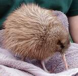 Kiwi austral