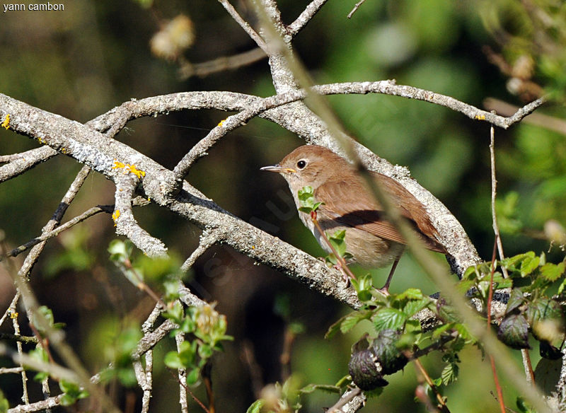 Common Nightingale , song