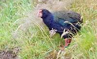 Talève takahé du Sud