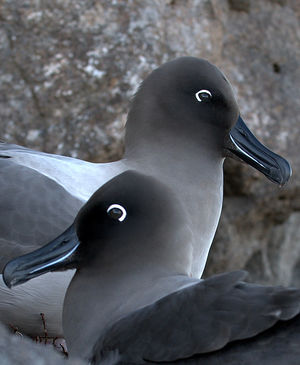Albatros fuligineux