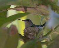 Colibri nain