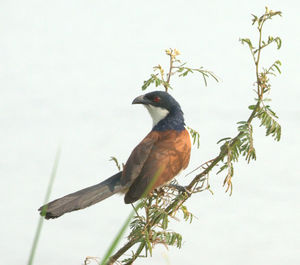 Coucal du Sénégal