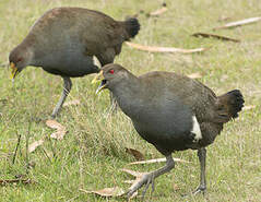 Gallinule de Tasmanie