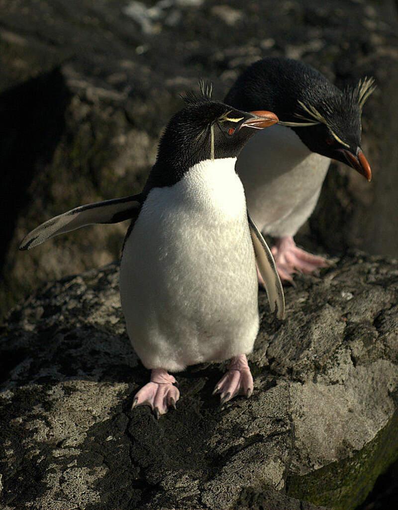 baby rockhopper penguin sounds - 624×800