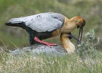 Ibis à face noire