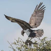 Aigle martial