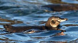 Manchot des Galapagos