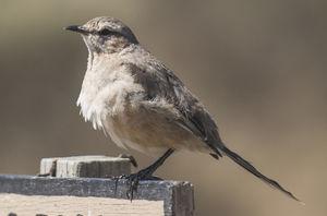 Moqueur de Patagonie