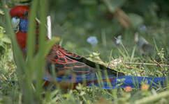 Perruche de Pennant