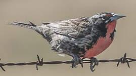 Sturnelle australe
