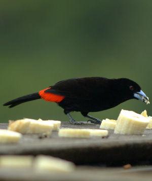 Tangara à croupion rouge