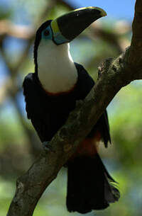 Toucan de Cuvier