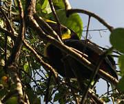 Toucan de Swainson