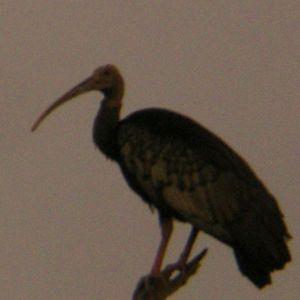 Ibis géant