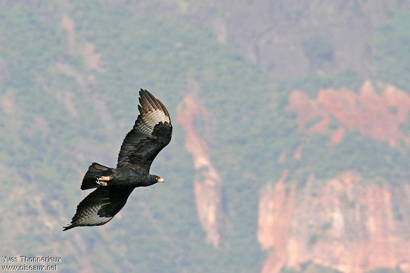 http://yves.thonnerieux.oiseaux.net/images/aigle.de.verreaux.yvth.2g.jpg
