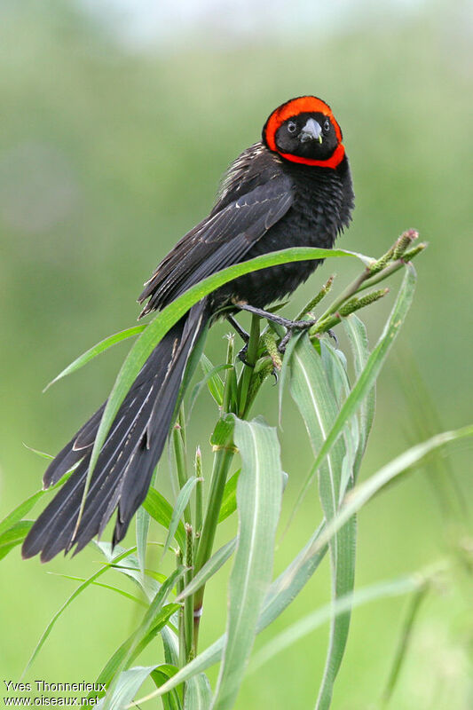 Red-collared Widowbird male adult