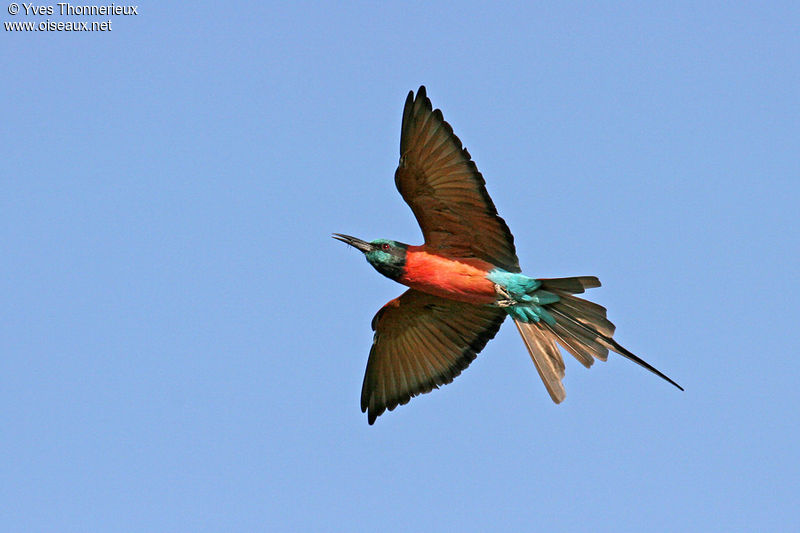 Northern Carmine Bee-eater adult